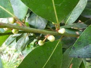 Léčba bobkovým listem
