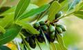 Bobkový list ajeho nežádoucí účinky