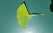 Ginkgo biloba – strom stisíciletou tradicí voblasti léčitelství