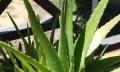 Aloe vera jako nejlepší domácí lékař
