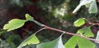 Zpracování listů Ginkgo biloba