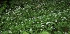 Vypěstujte si medvědí česnek vkvětináči